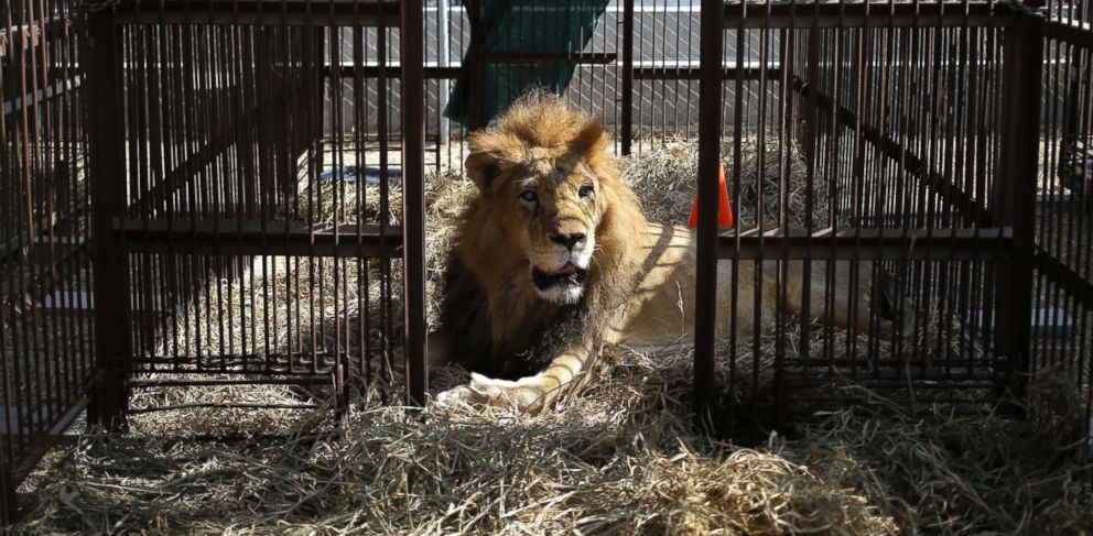 PHOTO: A former circus lion rest inside a cage in the outskirts of Lima, Peru, April 26, 2016.