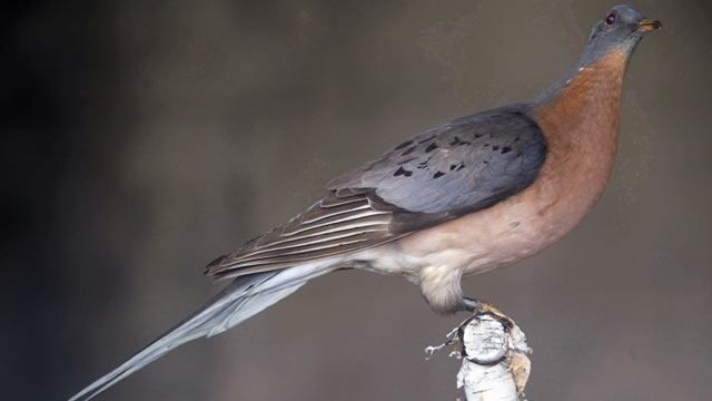 PHOTO: This preserved passenger pigeon, on display at the Great Smoky Mountains National Park, is shown in Knoxville, Tenn.