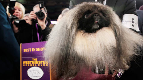 ap pekingese best in dog show thg 120215 wblog Today in Pictures: Piglets, Sri Lanka, Clowns, Jeremy Lin and the Queen