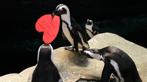 ap penguins Valentines day ss thg 120214 wblog Today in Pictures: Fashion Week, Syria, Westminster, Valentines Day