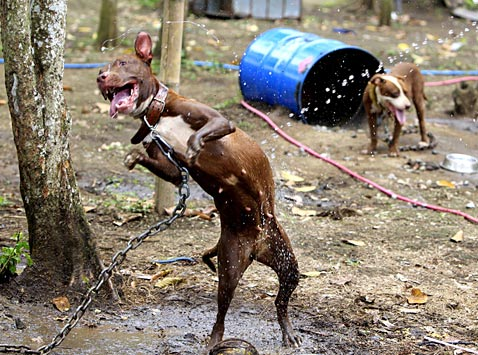 ap philippines dog fighting ll 120403 wblog Today in Pictures: Russian Dance, Kansas Falls, Rescued Pit Bulls