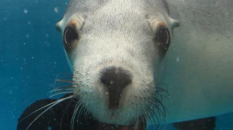 ap seal australia ss thg 111221 wblog Today in Pictures: Dec. 21, 2011.