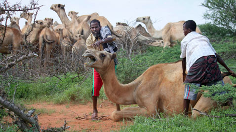 ap somalia famine camels thg 111122 wblog Today in Pictures : Nov. 22, 2011