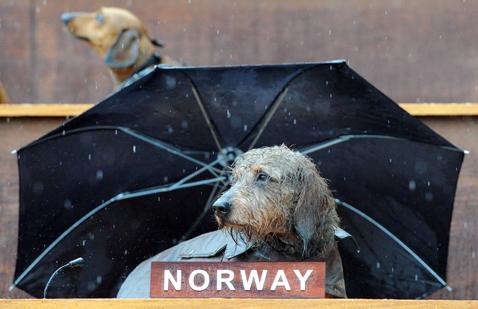 gty dachshund un 07 nt 120605 wblog Dachshund U.N. Gathers in Sydney, Australia