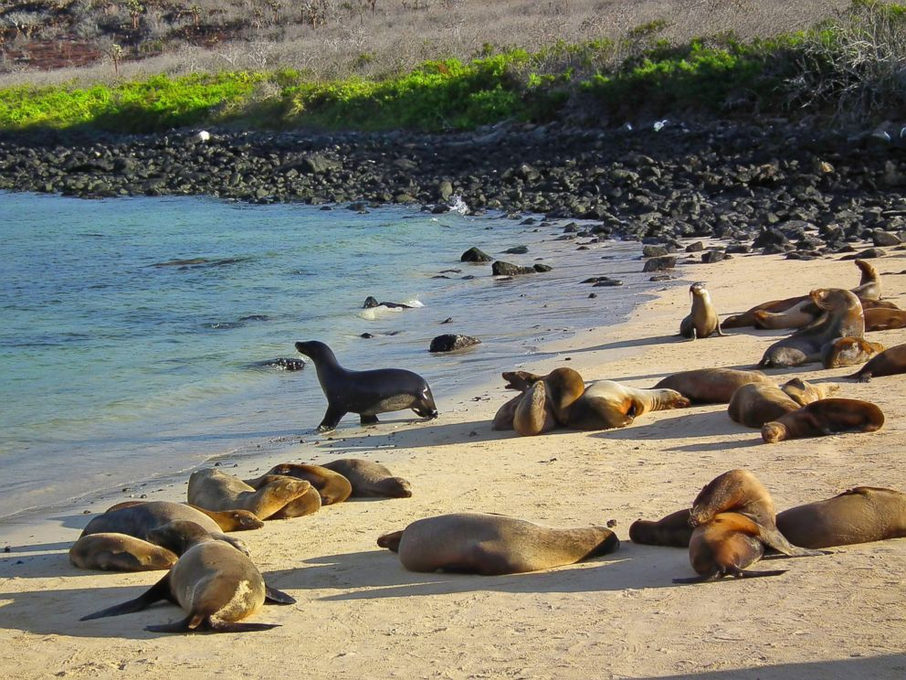 PHOTO: Sea lions lounge on South Plaza Island in the Galapagos Islands on Nov. 30, 2010.