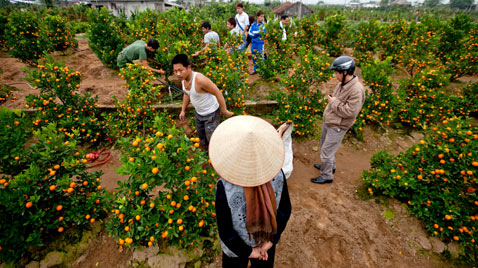 gty kumquat vietnam treesa ss thg 120120 wblog Today in Pictures: Jan. 20, 2012