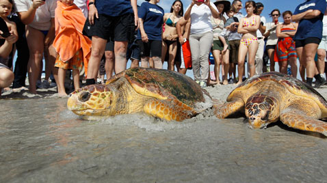 gty loggerhead turtles wild 120313 ss thg 120313 wblog Today in Pictures: Cheltenham Horse Race, Gaza Mourns, Afghanistan Protests, and Turtles