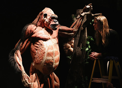 gty london plastinated gorilla 142366911 ll 120403 wblog Today in Pictures: Russian Dance, Kansas Falls, Rescued Pit Bulls