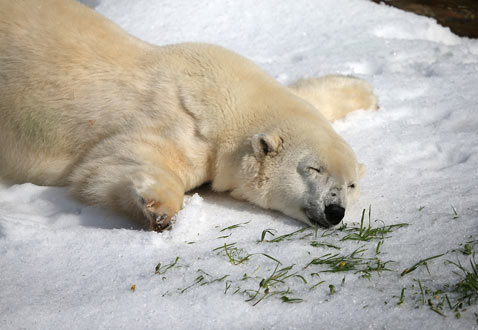 gty polar bear gets snow san fran thg 121116 wblog Today In Pictures; Gaza Mourns, Buddhist Monks, Croatia Celebrates and Polar Bears
