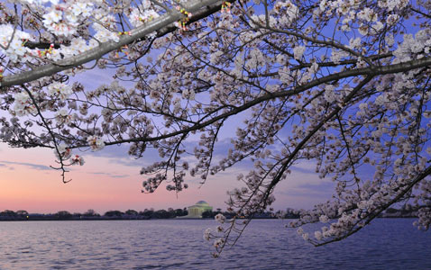 gty washington dc cherry blossoms nt 120319 wblog Today in Pictures: Toulouse School Shooting, Coptic Pope Dies, and Cherry Blossoms