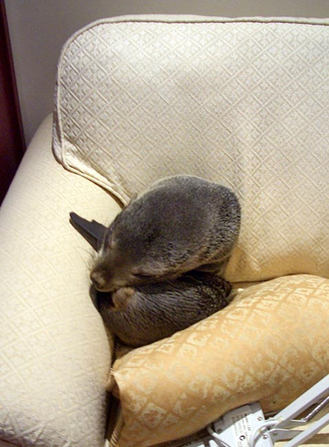 ht baby seal pup sleeping 2a ll 111214 vblog Baby Seal Enters House and Naps on Couch