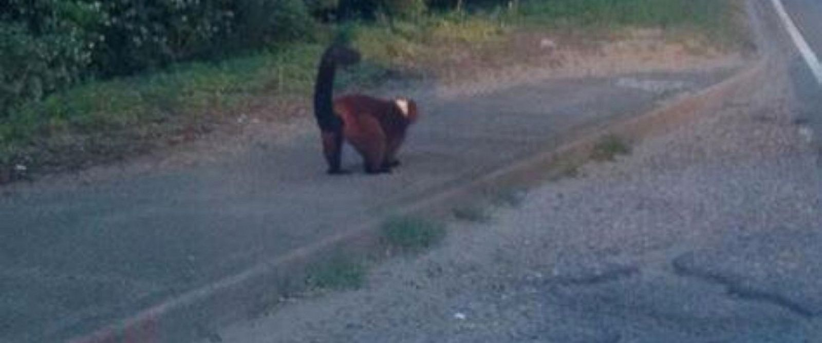 PHOTO: A lemur is seen on the side of the road in the United Kingdom in this undated photo posted to Twitter by Jonathan Hunt.