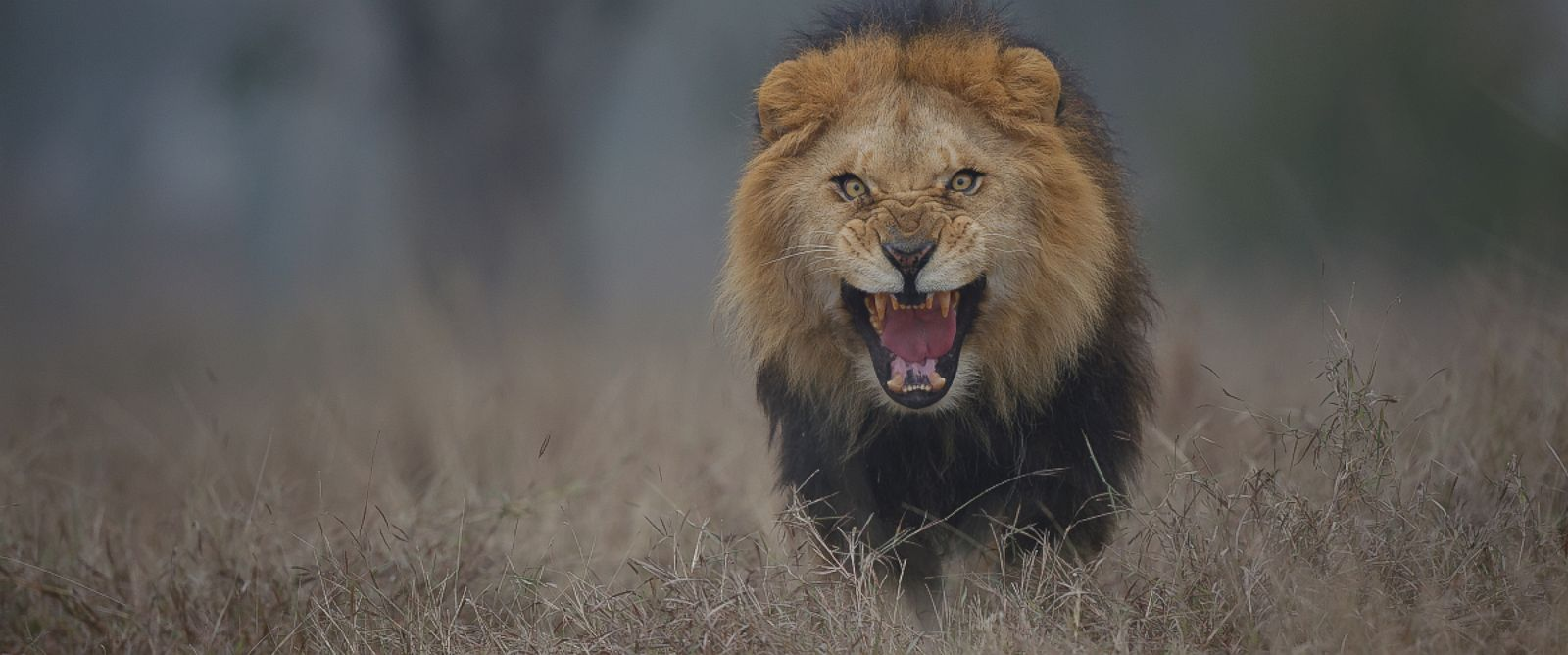 PHOTO: Photographer Atif Saeed said he captured this photo of an adult male lion while in a safari in Lahore, Pakistan on Jan. 24, 2012.