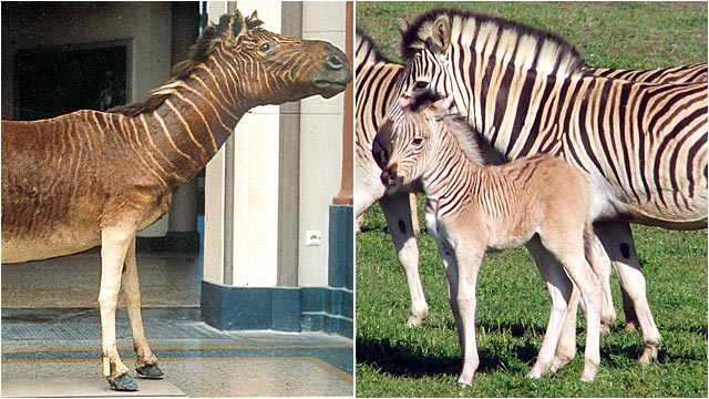PHOTO:The quagga, a South African zebra with stripes on the front half of its body.