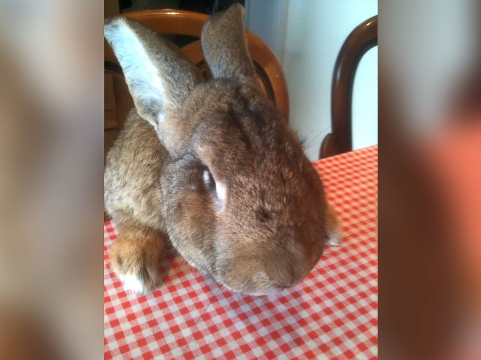 World S Longest Rabbit Darius Celebrates 5th Birthday