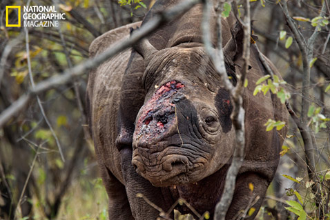 ht rhinos MM8054 001 wblog Rhino Wars: The Violent World of Poachers and Black Market Medicine