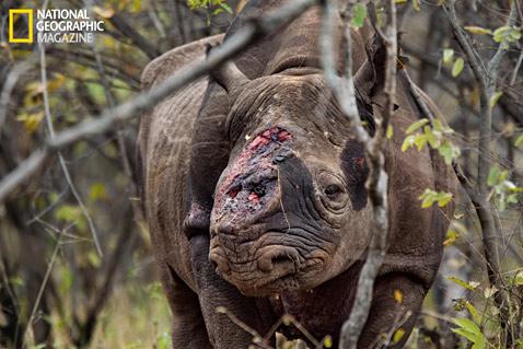 ht rhinos MM8054 001 wblog Rhino Wars: The Violent World of Poachers and Black Market Medicine