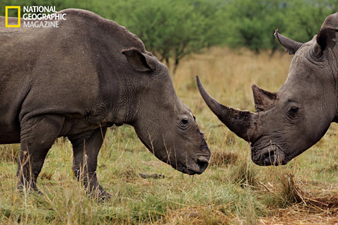 ht rhinos MM8054 007 wblog Rhino Wars: The Violent World of Poachers and Black Market Medicine