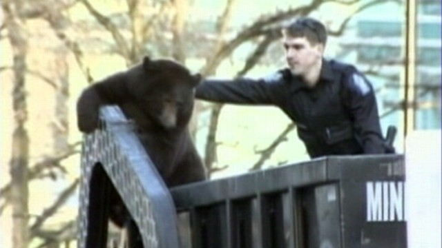 VIDEO: Wildlife officials tranquilized the bear after it was found in a garbage truck.