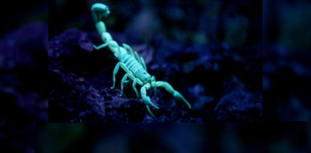 PHOTO: A blue scorpion is shown here under UV light at Medolifes scorpion reservation in the Dominican Republic.