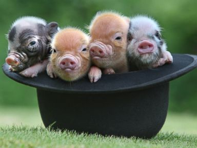 PHOTO: These tiny piglets were born and raised at Pennywell Farm in Buckfastleigh, England.