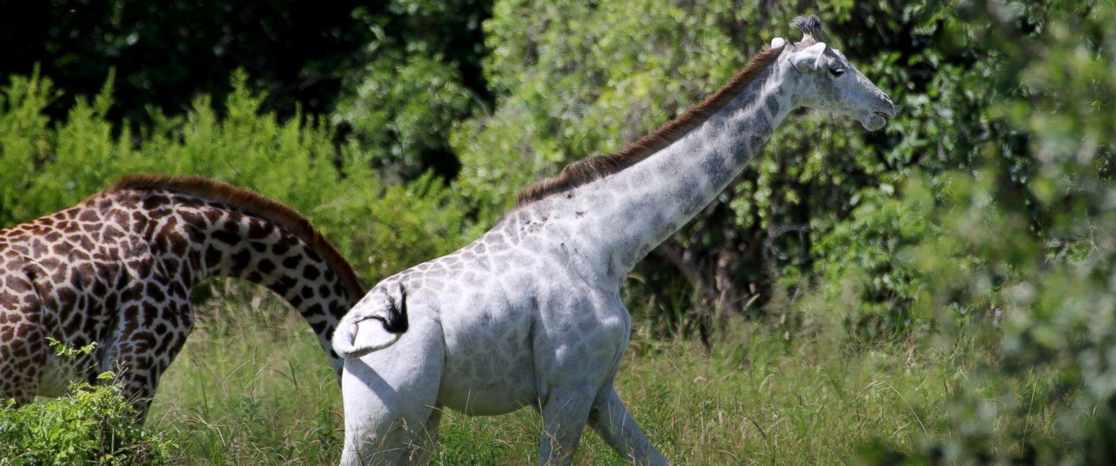 PHOTO: Omo the white giraffe is seen here in Tarangire National Park in Tanzania, Africa, Jan. 17, 2016.