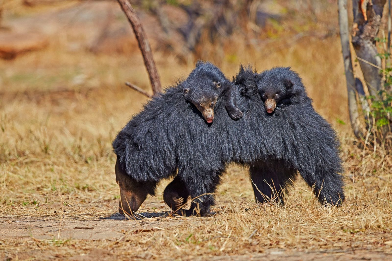 Sloth Bear Cubs Hitch Ride On Mom Picture Cutest Baby