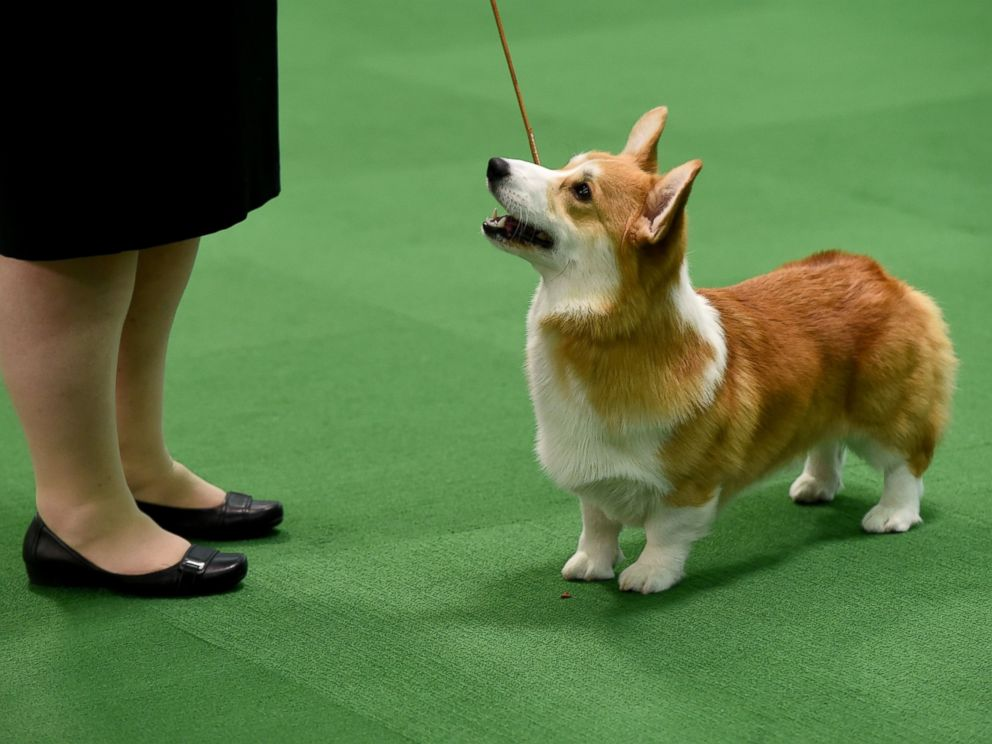 PHOTO:A Pembroke Welsh Corgi is seen in the judging area, Feb. 15, 2016, in New York during the first day of competition at the Westminster Kennel Club 140th Annual Dog Show.