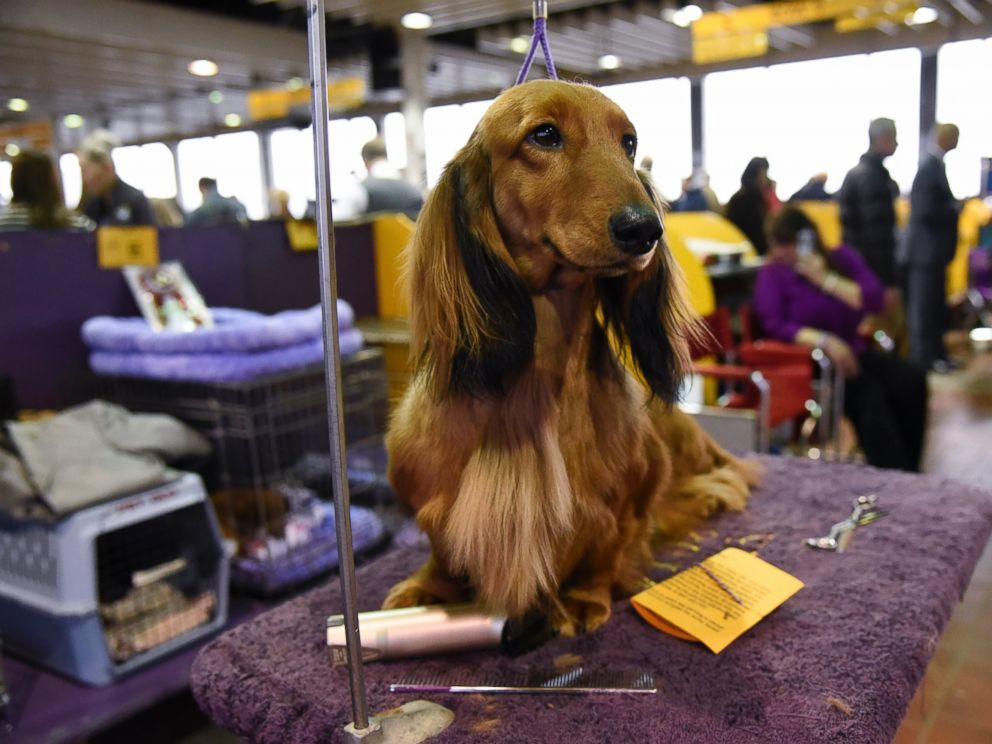 PHOTO:A Long Haired Dachshund waits in the grooming area during the first day of competition at the Westminster Kennel Club 140 Annual Dog Show, Feb. 16, 2016, in New York.