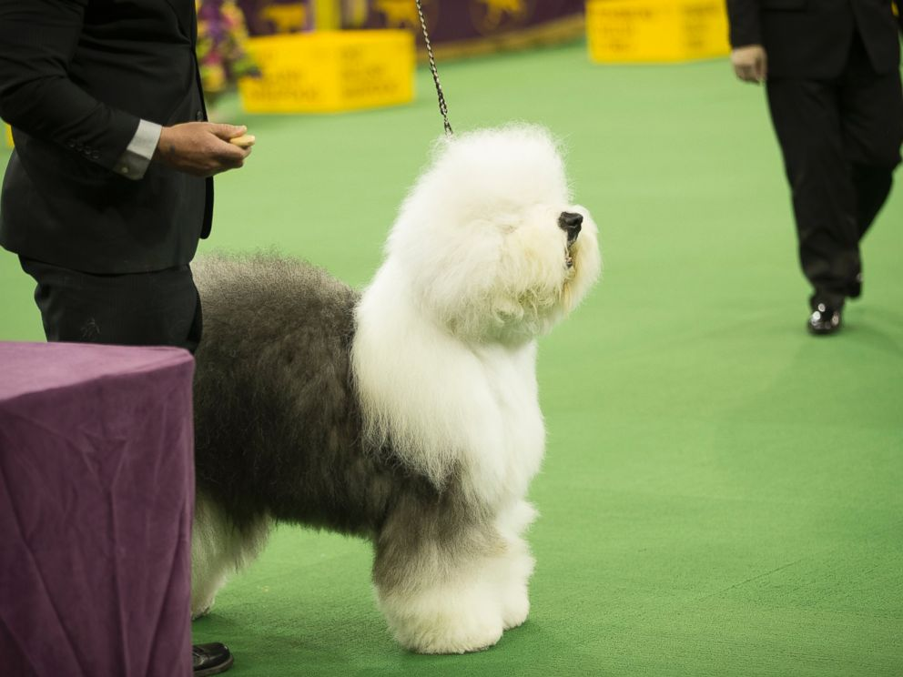 PHOTO: Swagger, the Old English Sheepdog, at Madison Square Garden in New York, Feb. 10, 2014.