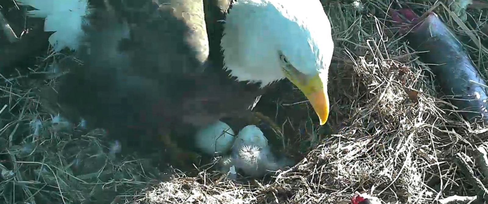 "PHOTO: A baby Bald Eagle was born on March 18, 2016 in Washington, to the eagle pair named ""Mr. President"" and ""The First Lady."""