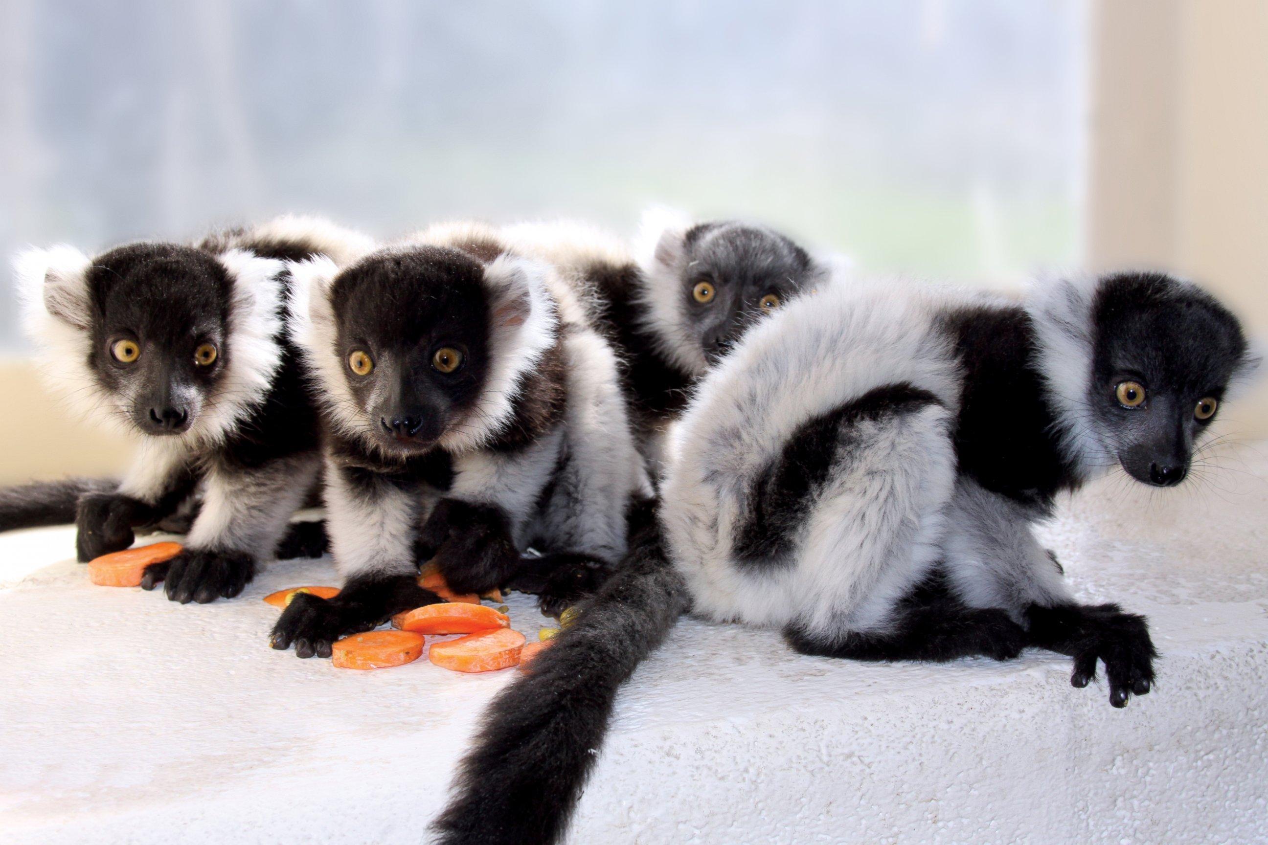 4 Baby Lemurs Make Their Debut at Philadelphia Zoo