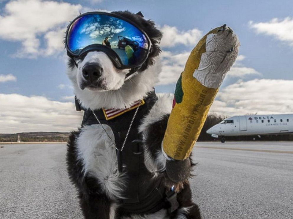 PHOTO: Piper is an 8-year-old Border Collie who volunteers at the Cherry Capital Airport in Traverse City, Michigan. For about a year now, Piper has been helping chase wildlife off the runways and taxiways at the airport.