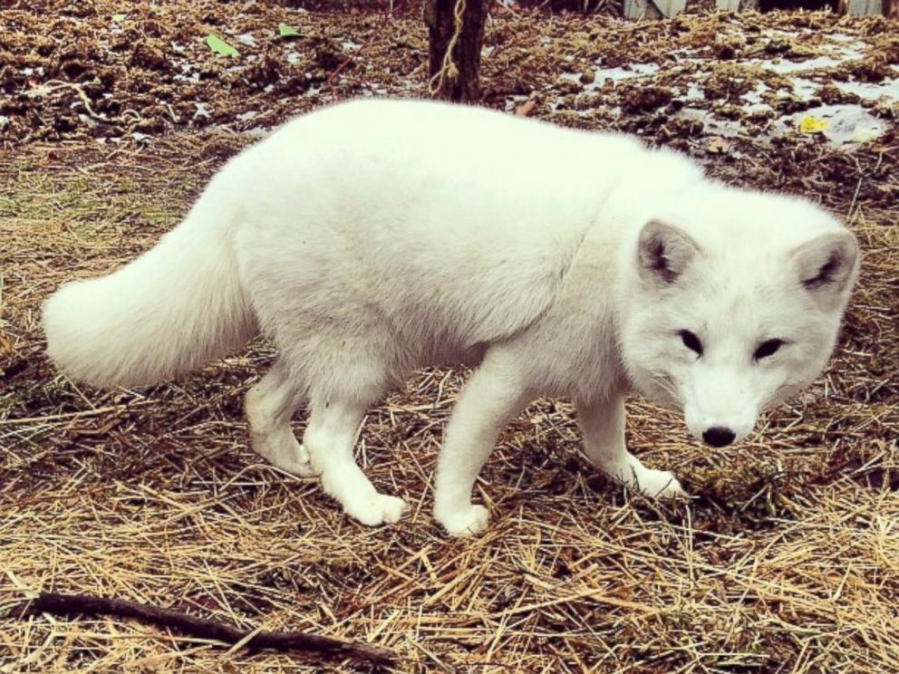 PHOTO: Archer the Arctic fox is seen here in a photo posted to Instagram by her owner Kristina Shafer.