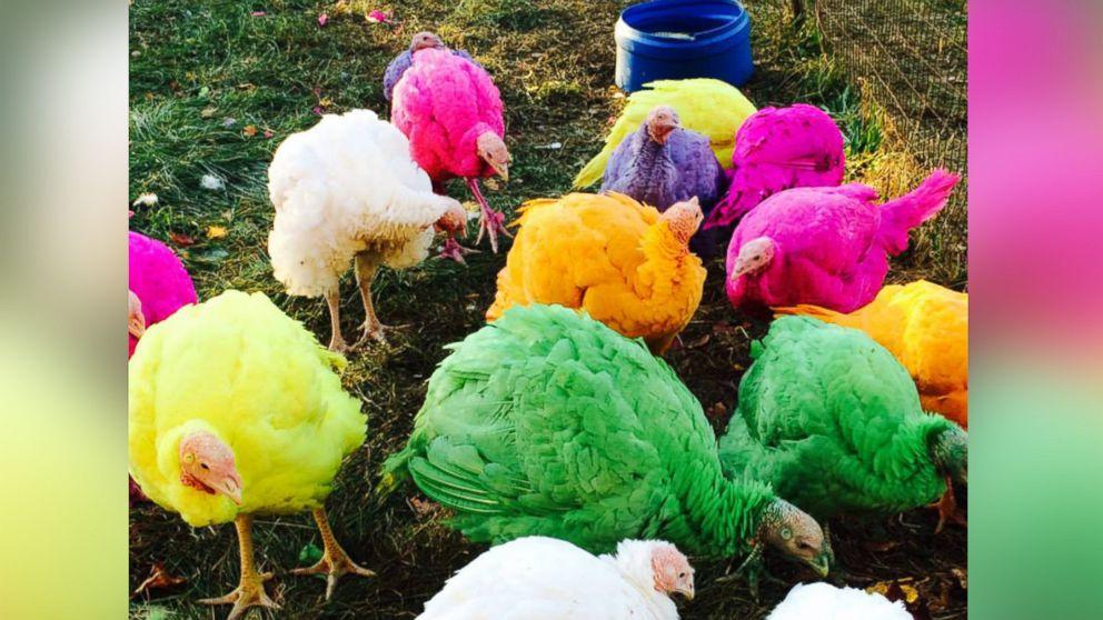 Colored Turkeys the Hit of Connecticut Turkey Farm  ABC News