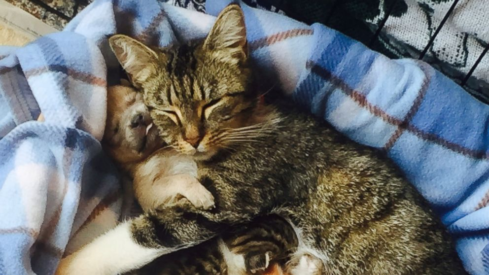 Orphaned Puppy Adopted by Mother Cat and Litter of Kittens