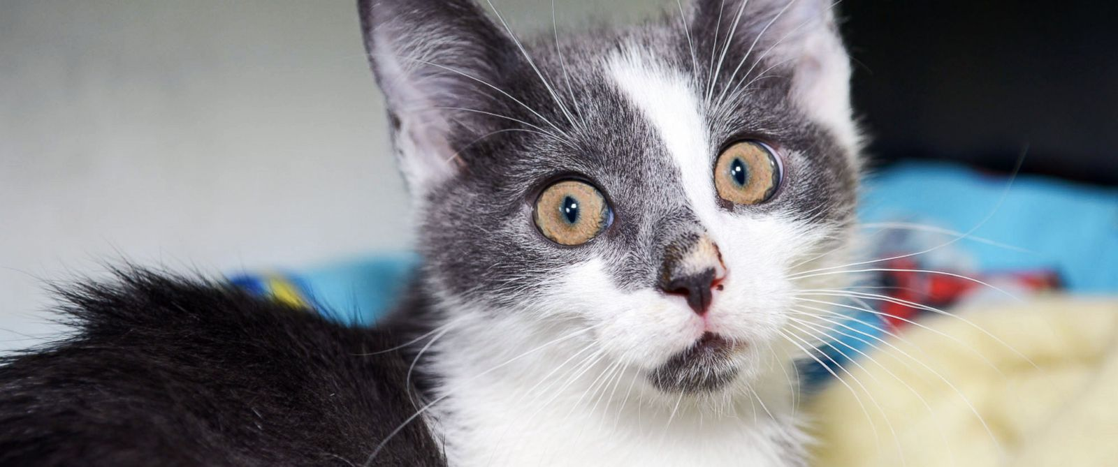 PHOTO: Alfonso recently beat out 14 other kitties for a starring role on Broadway.