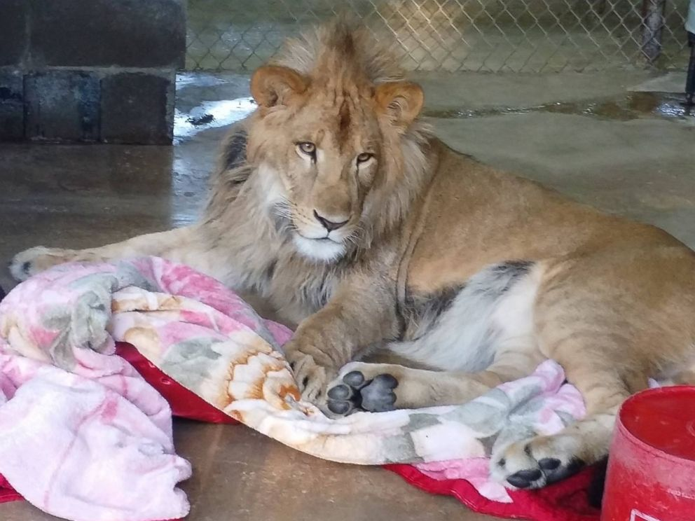 PHOTO: Lambert the lion always has to have a blanket when he goes to sleep at the In-Sync Exotics Wildlife Rescue and Educational Center in Wylie, Texas.