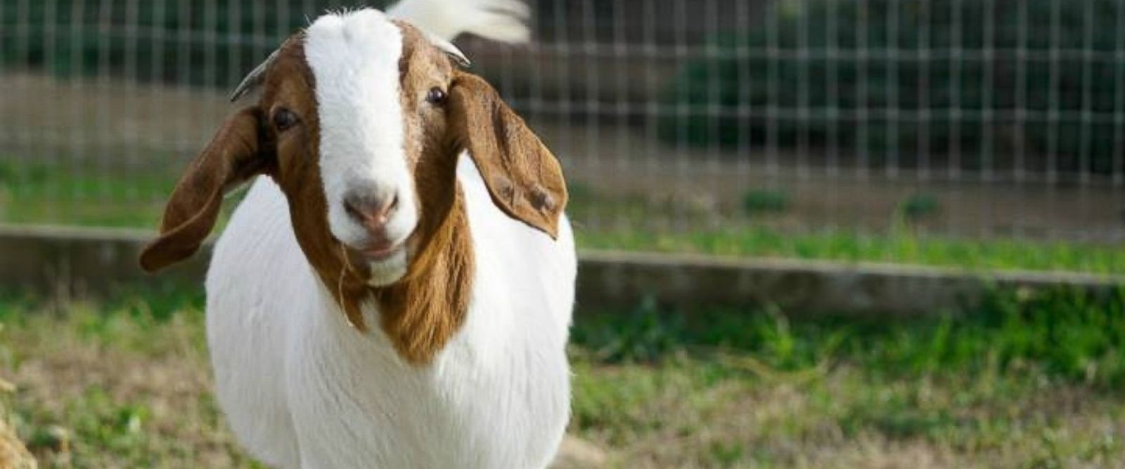 PHOTO:Marcia was born blind and was rescued by Farm Sanctuary on May 3, 2015 at about eight weeks old. She constantly wanted a companion and would cry whenever she was alone.