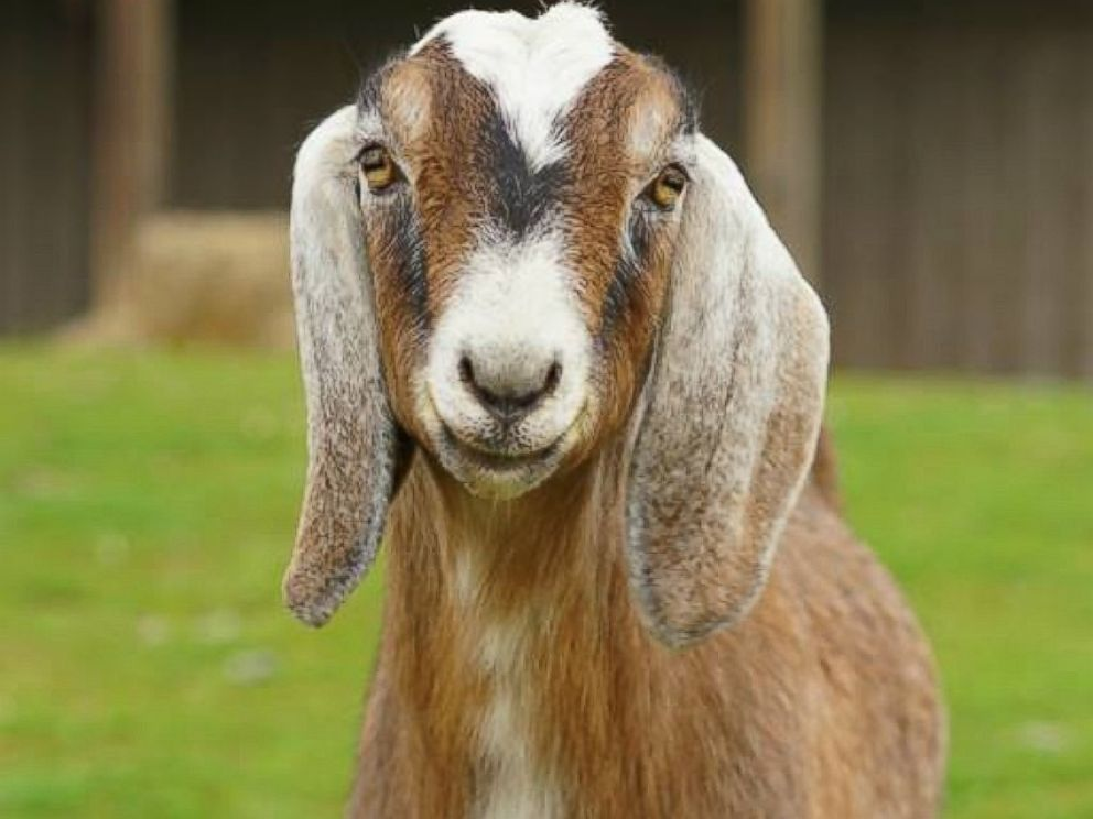 Blind Goat Forms Unbreakable Bond With Fellow Farm Animal