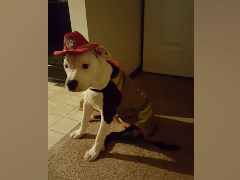 PHOTO: A Pit Bull named Jake, who was badly burned in a house fire as a puppy in April 2015, is now a firefighter and mascot at Hanahan Fire Department in South Carolina, according to William Lindler, his owner and the firefighter who saved him.