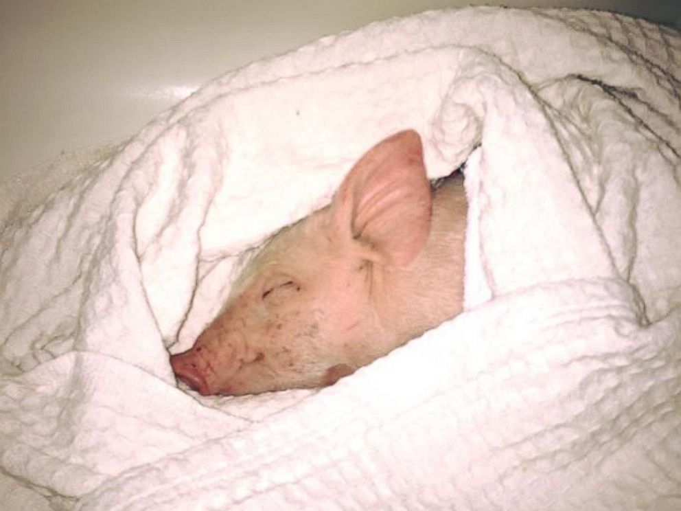 PHOTO: The Smith family rescued this piglet, named Wee Wee, while driving back from a ski trip during this weekends blizzard.