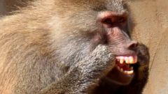 Baboon Brushes Up on Dental Hygiene With Old Broom