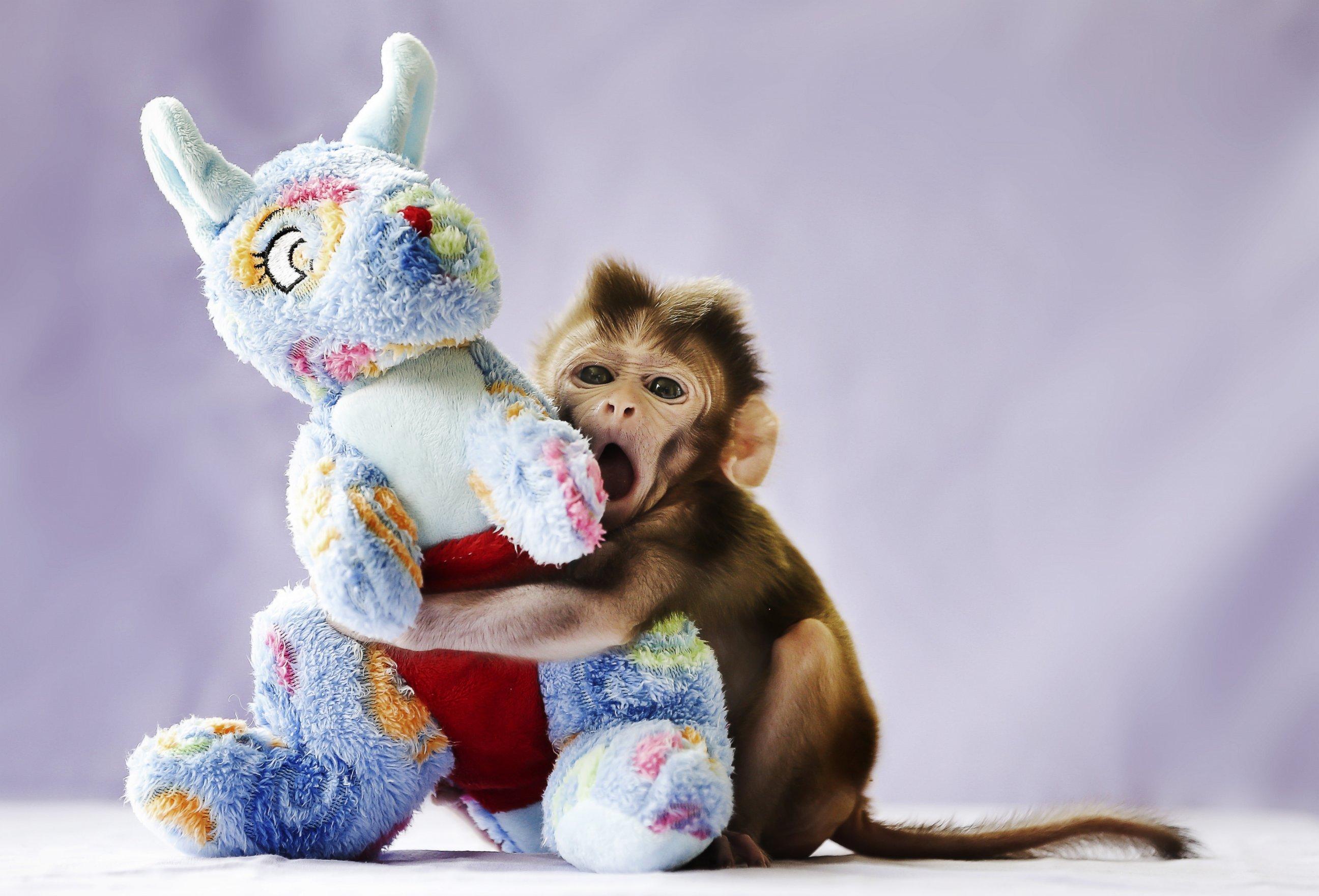 Baby Rhesus Macaque Cuddles Teddy Bear