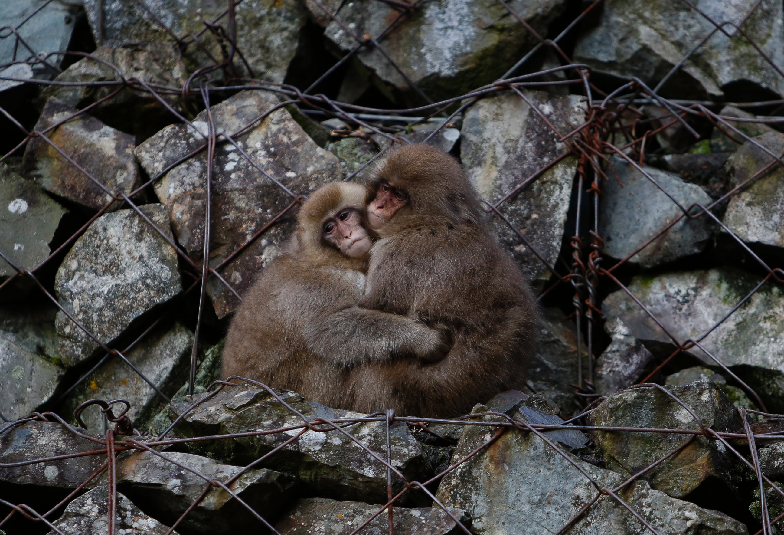 Snow Monkeys Snuggle With Each Other