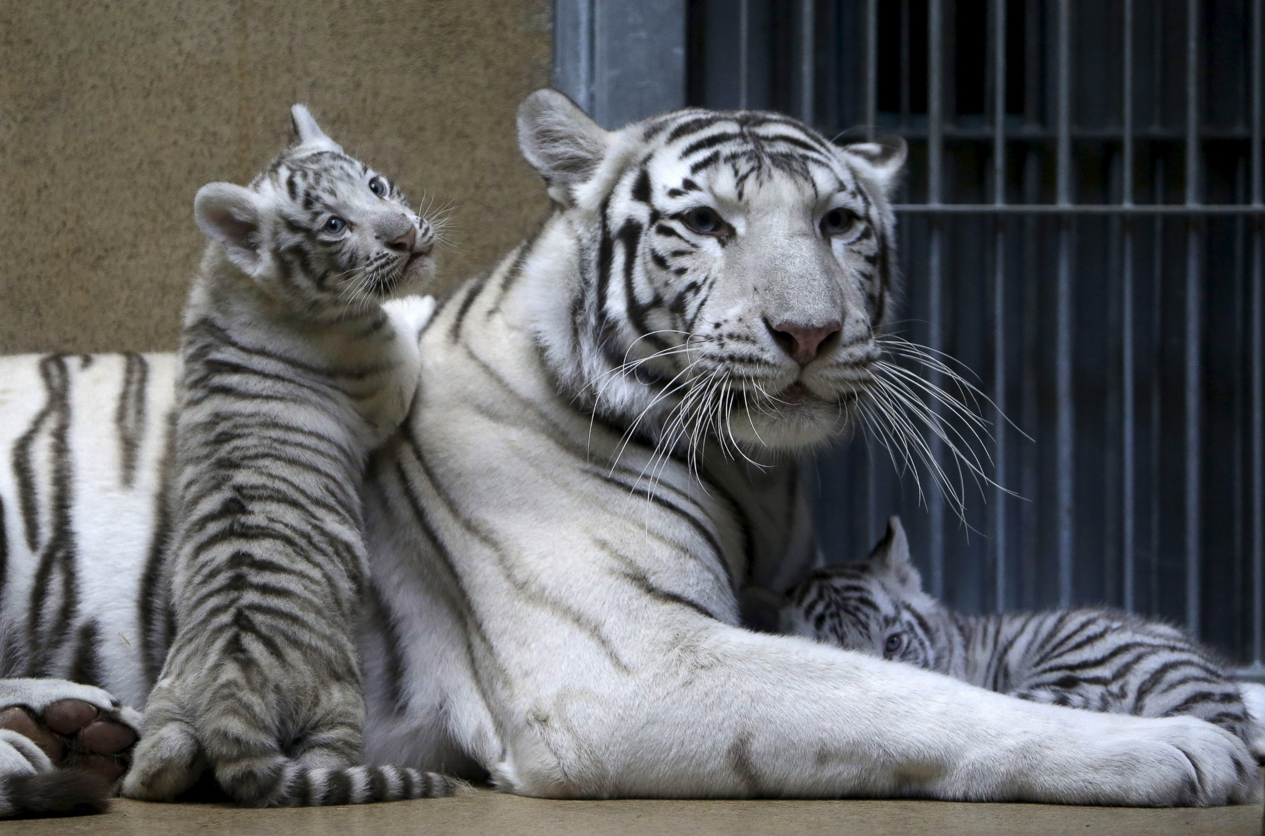 White Tiger Rests With Its Baby Cubs