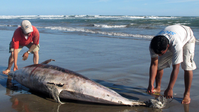 PHOTO:Experts measure a dead dolphin lying on a beach on the northern coast of Peru, March 27, 2012.