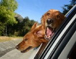 Dogs Hanging Out of Car Windows