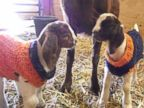 PHOTO: Baby Goats Wear Knitted Super Bowl Sweaters Sporting Their 'Broncos' Spirit