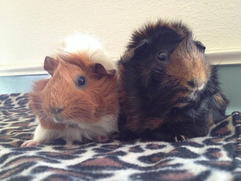 PHOTO: Estella the guinea pig is pictured here with her guinea pig husband Pip at Harvest Home Animal Sanctuary in Stockton, California.